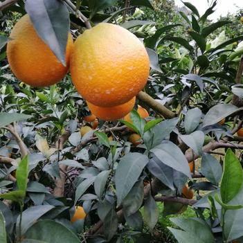 奉節臍橙 今年的貨比去年的貨更漂亮