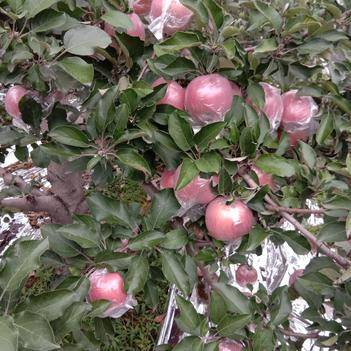 膜袋蘋果,