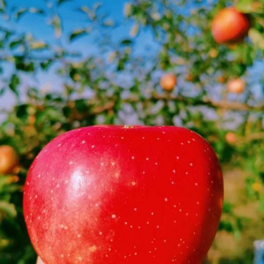 寧夏回族自治區中衛市沙坡頭區紅富士蘋果 75mm以上 片紅 紙袋