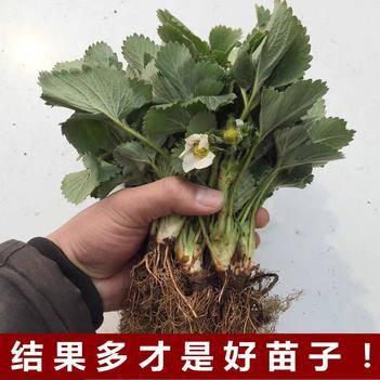 妙香草莓苗 10公分以下 地栽苗