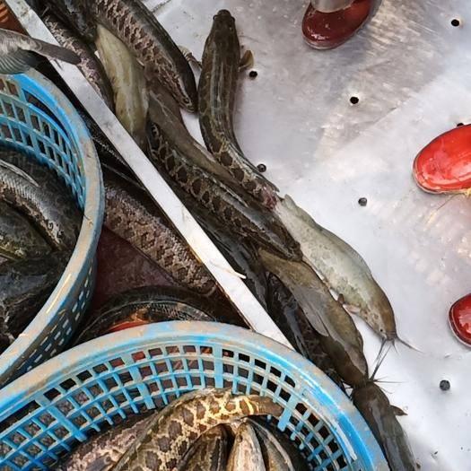 广东省佛山市顺德区野生黑鱼 人工养殖 1.5-2.5公斤