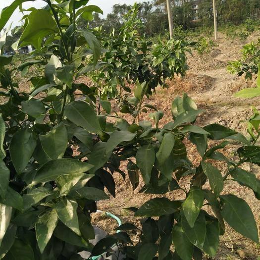 浙江省台州市温岭市水田 现有田地60亩左右,栽植柑橘,