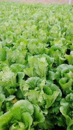 山東省濰坊市青州市紫白菜 都是好貨 產地直銷