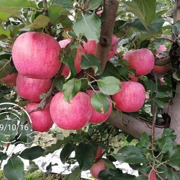 靈寶蘋果 高山套袋紅秦冠17000斤,個大,色顏