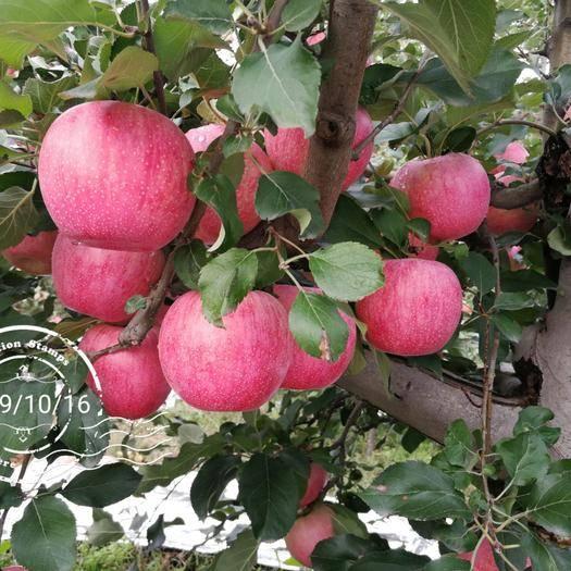 河南省三門峽市靈寶市靈寶蘋果 高山套袋紅秦冠17000斤,個大,色顏