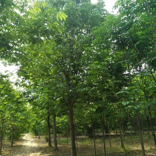 河南省南陽市南召縣 七葉樹1-25公分大量供應