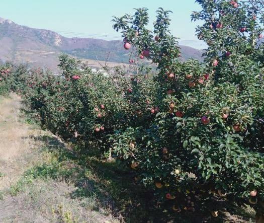 遼寧省錦州市太和區 紅富士寒富蘋果,果個60 以上光果,果園產地直接銷售量大優