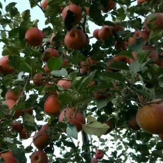 廣西壯族自治區河池市都安瑤族自治縣 云南昭通冰糖心丑蘋果