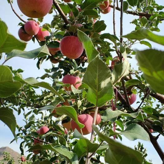 內蒙古自治區赤峰市寧城縣 寧城寒富蘋果,好吃好賣還不貴
