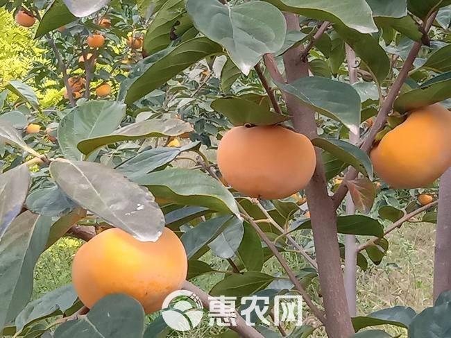 [阳丰作文]泾阳县云阳镇堡村马家二组陈元心感恩初中甜柿的400字图片
