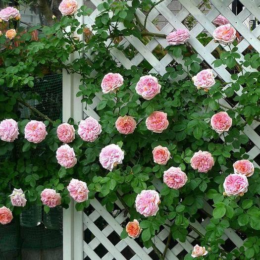 上海市杨浦区 欧月藤本月季花苗特大花四季浓香玫瑰爬藤蔷薇庭院攀援花卉植物
