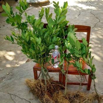 香水檸檬苗 嫁接苗 種半年開花結果,產量高