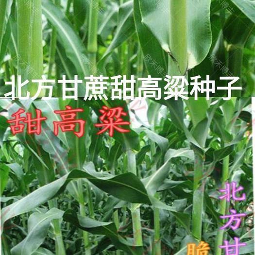 河北省唐山市迁安市 北方甘蔗甜高粱种子儿时的甜高粱种子400粒原厂彩色包装包邮