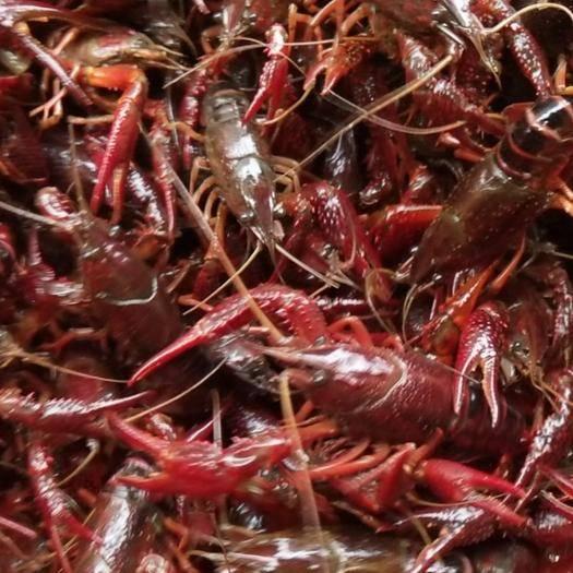 湖北省荆州市监利县 监利县十万亩大型基地资源深水虾苗,种虾热卖中。 一手农户货源