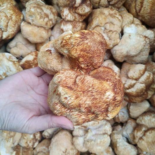 河北省保定市安國市 東北野生猴頭菇500克包郵