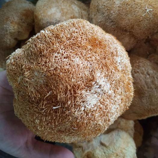 河北省保定市安國市 大個猴頭菇500克包郵