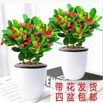 鐵海棠盆栽 盆徑90110#常年開花四季不斷 去甲醛 包郵