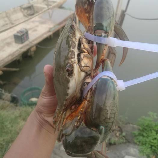 广东省广州市南沙区 广州南沙青蟹大公蟹肉蟹