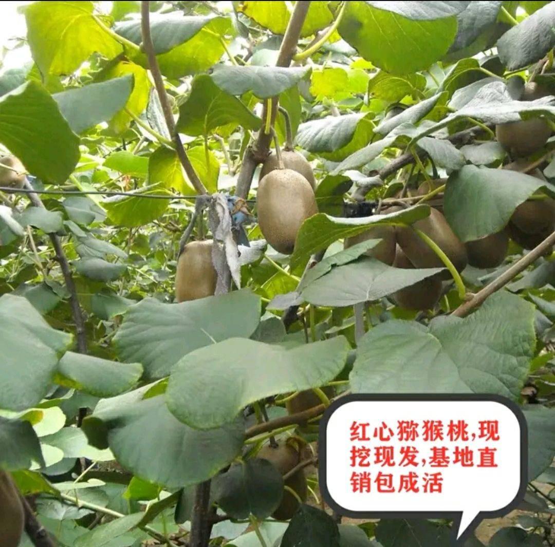 紅心獼猴桃苗 保品種  包成活  基地現挖直銷 免費后期種植技術指導