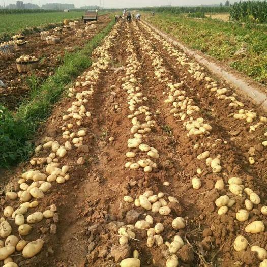 河北省承德市围场满族蒙古族自治县荷兰十五号种薯 好种薯是您丰收的保障