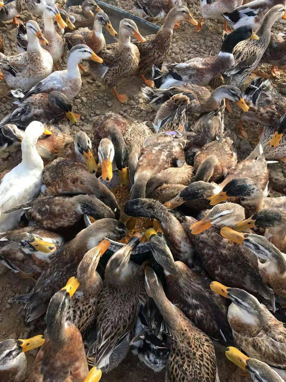 [鸭肉类批发]鸭肉类 一百多天的麻鸭,有需要的老板吗价格9元/斤