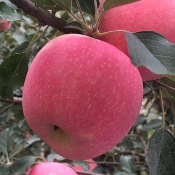 紅富士蘋果 膠東半島精品紅富士  現摘現發 一級果 80以上 大宗發物流