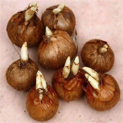 江苏省苏州市相城区藏红花种球 十颗大球食用藏红花药用西红花番红花种球球根种子药材花卉盆栽苗