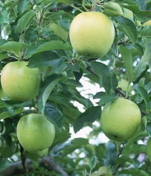 王林蘋果王林,自己的果園,80左右,價格優惠