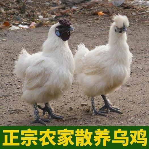 河北省保定市莲池区 正宗散养乌鸡月子鸡笨鸡白凤乌鸡新鲜农家乌骨鸡包邮