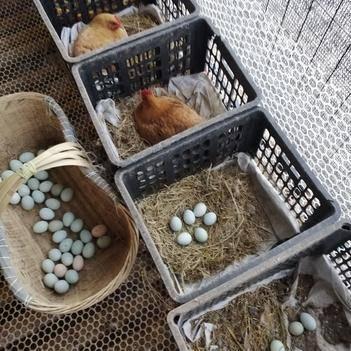 林下散養土雞蛋綠殼土雞蛋