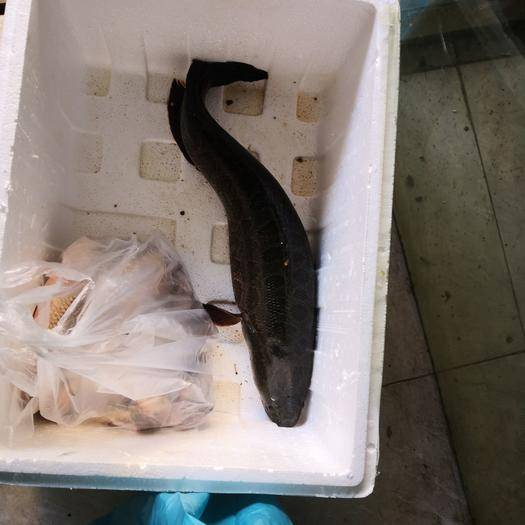 安徽省淮南市大通区乌鳢 全程饲料鱼养殖,条形好,营养价值高