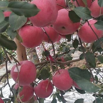 昌紅富士蘋果 紅富士、美國8號、紅路、早熟、晚熟品種都有價格優惠