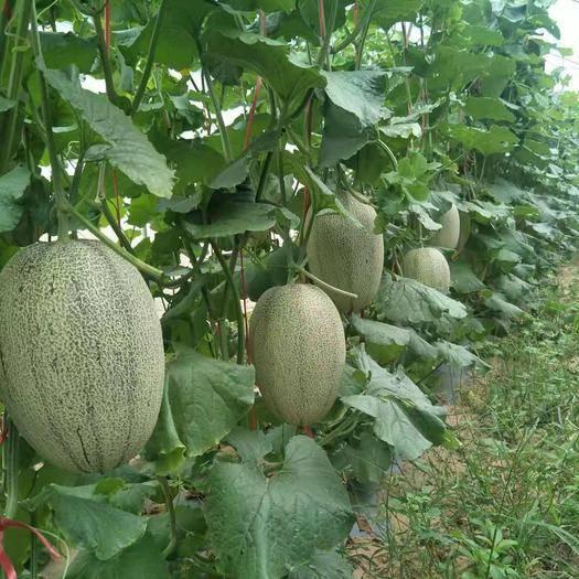 海南省東方市東方市 海南哈密瓜耀龍25號品種,無污染,天然綠色水果