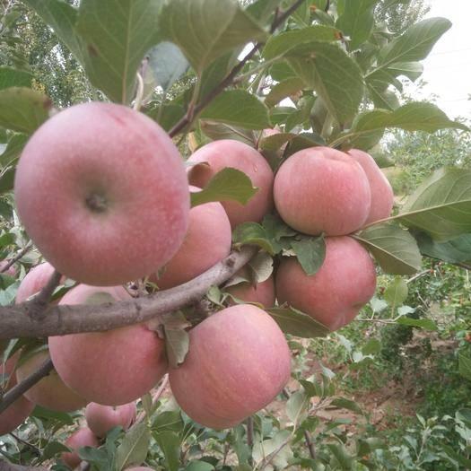 寧夏回族自治區中衛市沙坡頭區高原紅蘋果 寧夏高原紅富士,含糖量高,口感好,廉價處理
