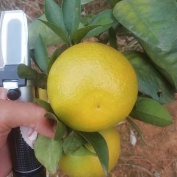 紅江橙 紅橙 橙子70-85  產地看貨批發 實力代辦