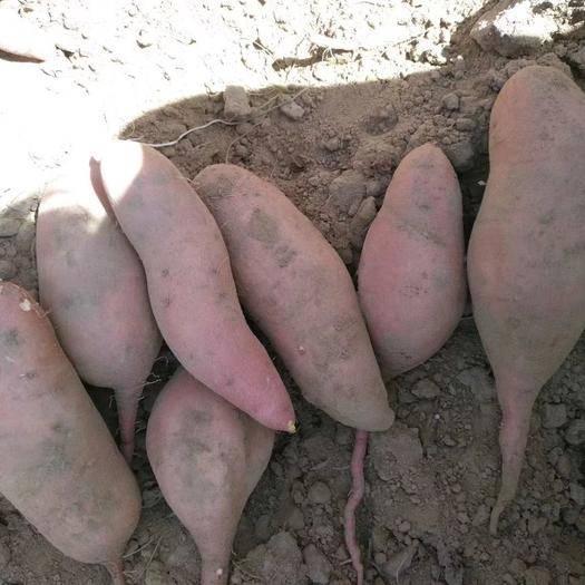 河南省开封市尉氏县商薯19红薯苗 商薯19,西瓜红
