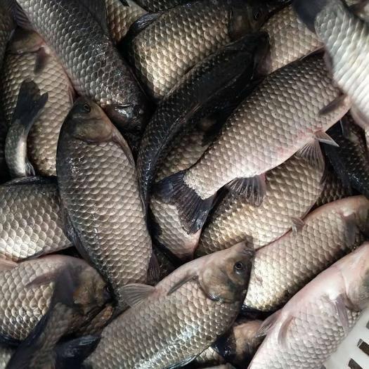 上海市浦东新区土鲫鱼 渔场直销各种高档鱼苗及垂钓成品用鱼......