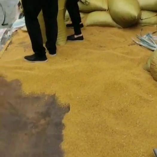 四川省乐山市五通桥区 出售黄菜籽