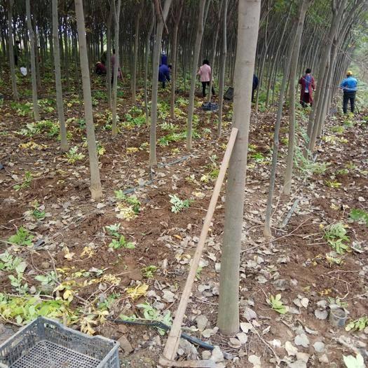 陕西省西安市鄠邑区 魔芋种子开挖了,脱水消毒以后就可以出售,欢迎各位老板订购!