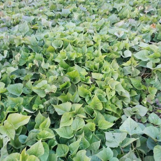 河北省保定市阜平縣 便宜出售紅薯葉