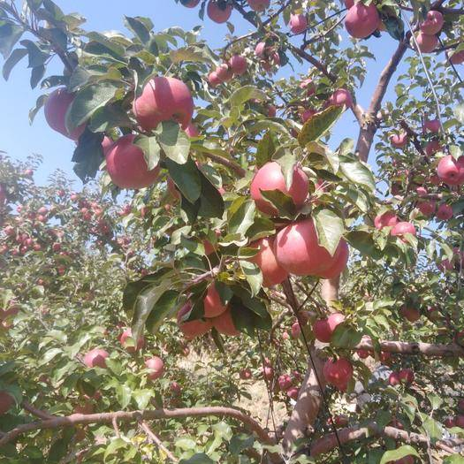 內蒙古自治區赤峰市寧城縣 寧城蘋果是您理想的選擇