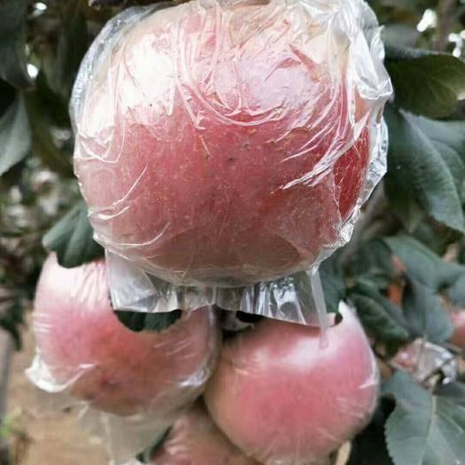 山東省菏澤市牡丹區 紅富士蘋果皮薄汁多冰糖心脆甜天然無公害綠色養生水果
