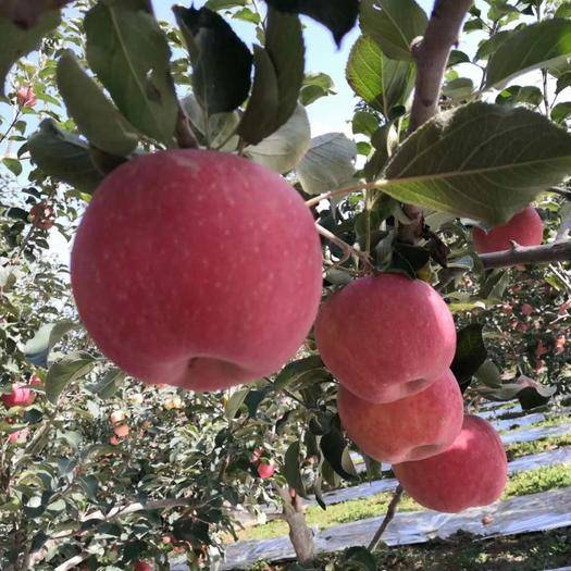 新疆維吾爾自治區阿克蘇地區阿克蘇市 新疆阿克蘇冰糖心蘋果   假一賠十10斤凈重