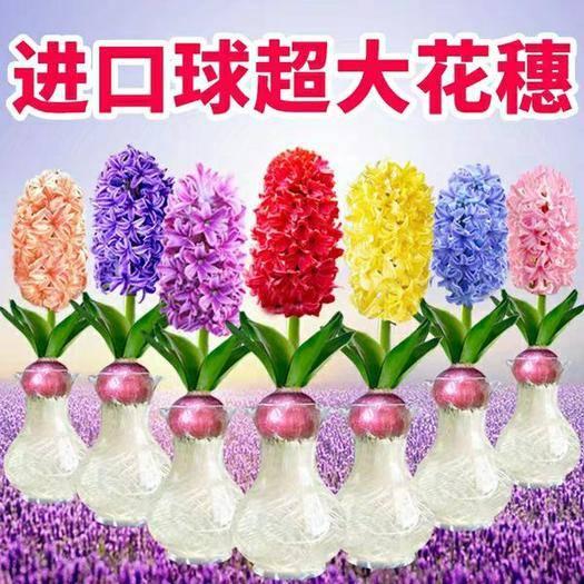 山东省临沂市郯城县 进口风信子种球 7种颜色包对版