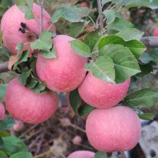 寧夏回族自治區銀川市西夏區 家庭果園,精心照料,蘋果個大汁甜。歡迎果商前來品嘗訂購