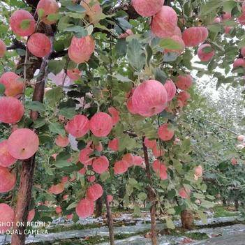 紅富士蘋果 紅富士