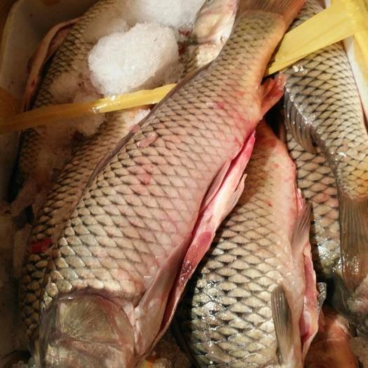 江蘇省徐州市豐縣 主營冰鮮開肚鯉魚,加工大小規格