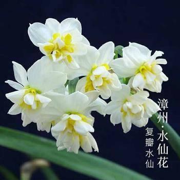 漳州水仙 復瓣水仙花 種球數量有限物種稀缺 易養活