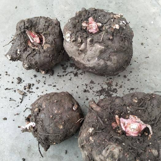 贵州省安顺市平坝区魔芋种 贵州本地魔芋,抗病力强,产量高,