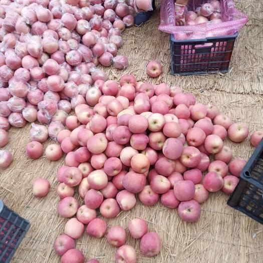 山西省運城市臨猗縣 紅富士蘋果樹片紅。條紅。